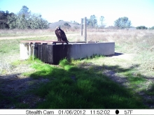 Golden eagle sitting on cattle trough