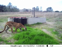 Mountain Lion out in daytime