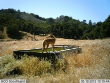 Coyote on Trough