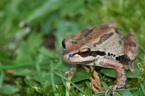 Pacific treefrog (or chorus frog)